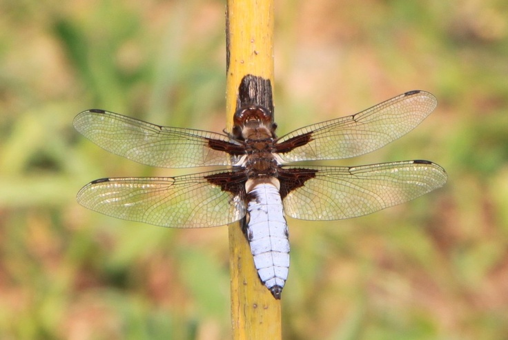 Large Dragonfly - Public Domain Photos, Free Images for Commercial Use