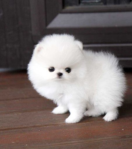 Teacup Pomeranian | Royal Teacup Puppies, Houston TX 77049