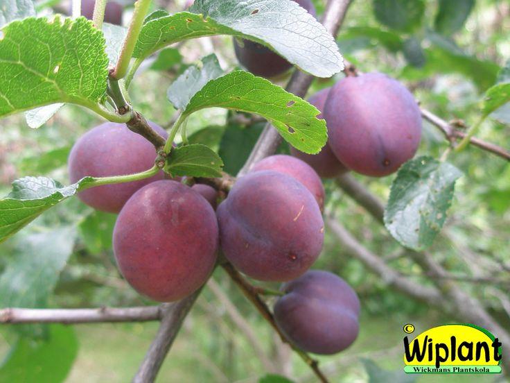 Prunus dom. 'Herman', Plommonträd. Stora söta, lila plommon.  Mognar i juli.  Herman har klarat sig utmärkt hos oss i ca 10 år, Zon III?