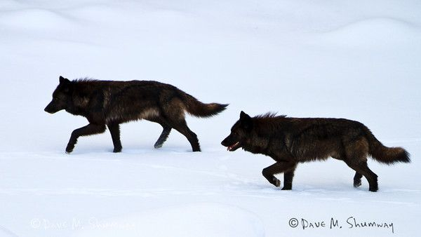 Two black wolves, members of the Mollies Pack, move through the Lamar Canyon on the frozen Lamar River in Yellowstone National Park. The pair was rejoining their siblings after a day of dancing around the Blacktail Pack.