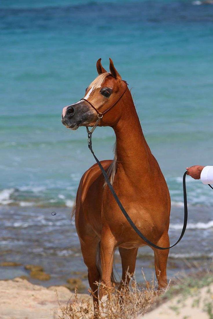 GRACE KELLY (AJMAN MONISCIONE X PAMIRA BINT PSYTADEL) 2009 chestnut mare bred by RB Arabian Horse Stud