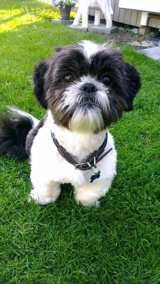 Black & White Shih Tzu | I Love Shih Tzus ! | Pinterest ...