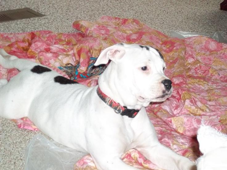 Blue - American Bulldog - Puppy