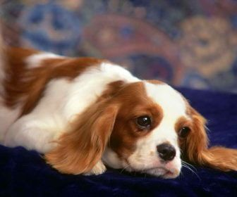 Best Small Cavalier King Charles Spaniel Dog Breeds For Adoption Best Small Dog Breeds For Adoption Dogs