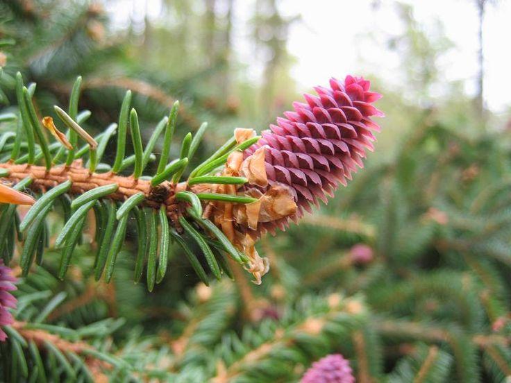 Tras la revisión de las 33 especies de gimnospermas registradas en Laos se descubrieron dos nuevas. Los investigadores las han nombrado como Pinus cernua y Cycas laotica.