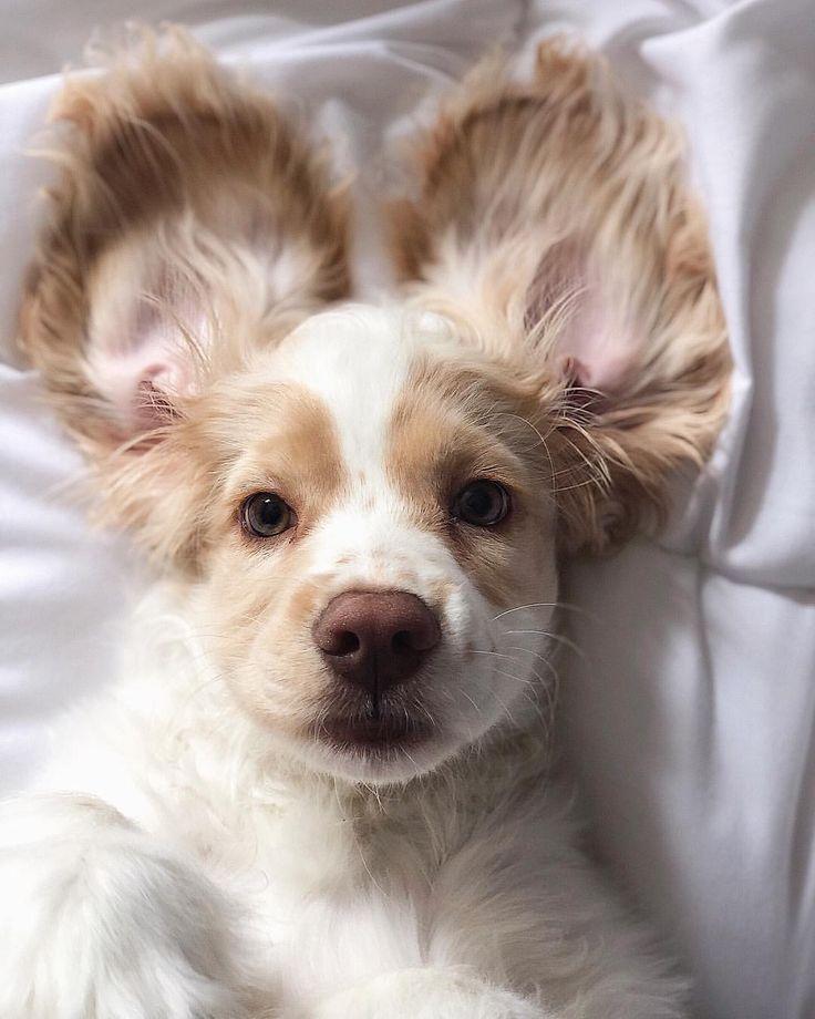 Guten Morgen ☕️   Cocker Spaniel Welpe   Süß – #Cocker #Guten #morgen #Spa… – Kira