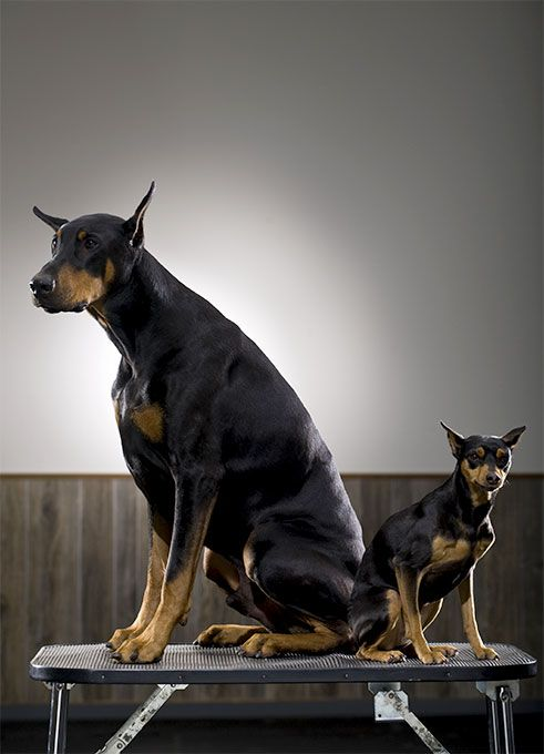 Miniature Pinscher Dog Breed Information, Pictures, Characteristics & Facts…                                                                                                                                                                                 More