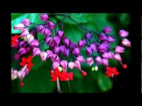 Flor Lágrima de Cristo: beleza impressionante! - YouTube
