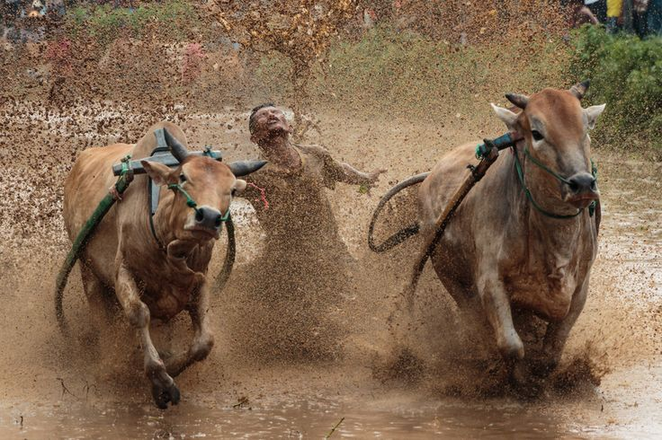 Dirty Dancing by Teddy Winanda on 500px Pacu Jawi is Minangkabau term for cows racing tradition. Pacu Jawi is a traditional sport game that are contested in Tanah Datar regency, West Sumatra, Indonesia.