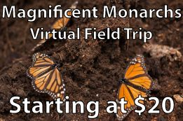 Magnificent Monarchs: The great migration (By Request) - Learn Around the World  Take your classroom to Mexico to visit one of the overwintering sites of the Monarch Butterfly. On this virtual field trip, your class will learn about the Monarch migration, what are some of the threats to the Monarchs and what actions you can take to help save one of the world's great migrations. Did I mention you'll see the Monarchs roosting in Mexico?