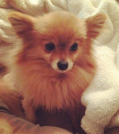 A Pomeranian Rescue Story: Lily in NYC - Where Mommies of the Pomeranian Dog Breed can gather, socialize and find tips on Treats, Toys and Pomeranian Parenting