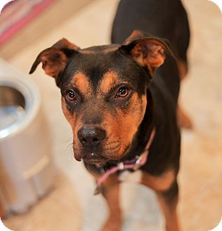 Pittsburg, KS - Rottweiler/Boxer Mix. Meet Susie, a dog for adoption. http://www.adoptapet.com/pet/17666822-pittsburg-kansas-rottweiler-mix