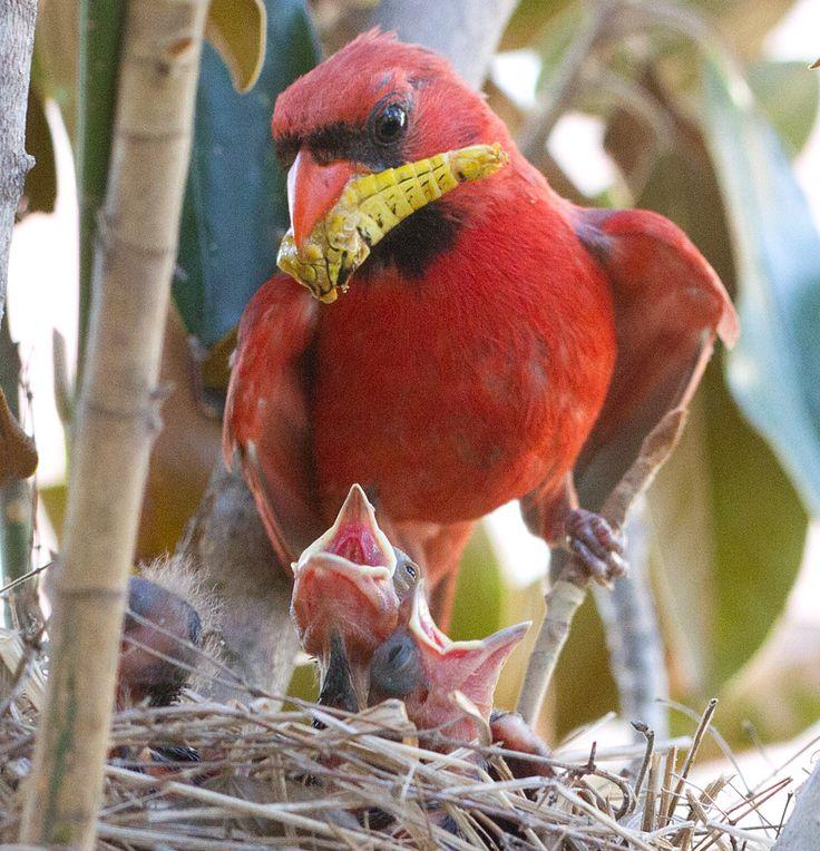Cardinal nest baby birds in nest 2 pinterest