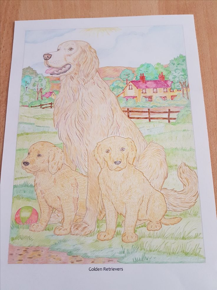 Golden Retrievers - Dogs - Adult coloring - Coloring book - Coloring pencil