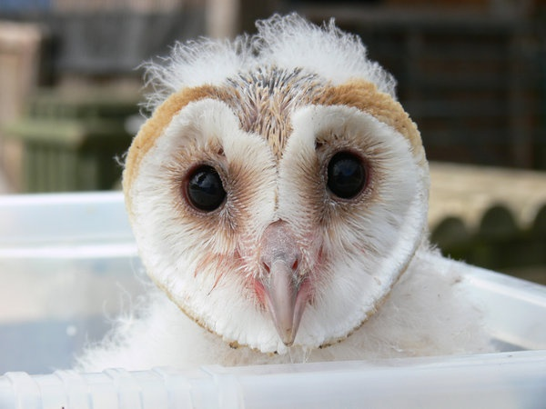 Baby barn owls, owlets, are covered in fuzz the first 6 days of their lives. Photo by Akatsuki-Hazuka