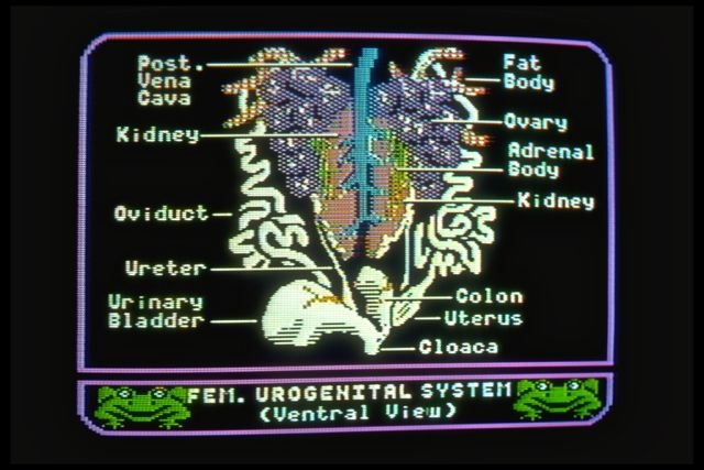 Operation Frog (1984): Female urogenital system (ventral view).