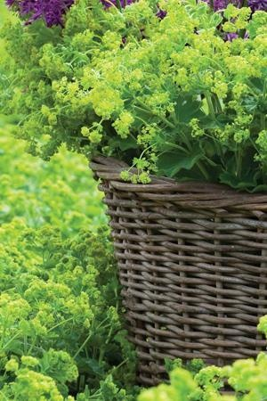Alchemilla mollis - Lady's Mantle flowers are available for Scottish weddings in August. Contact The Stockbridge Flower Company for more details.