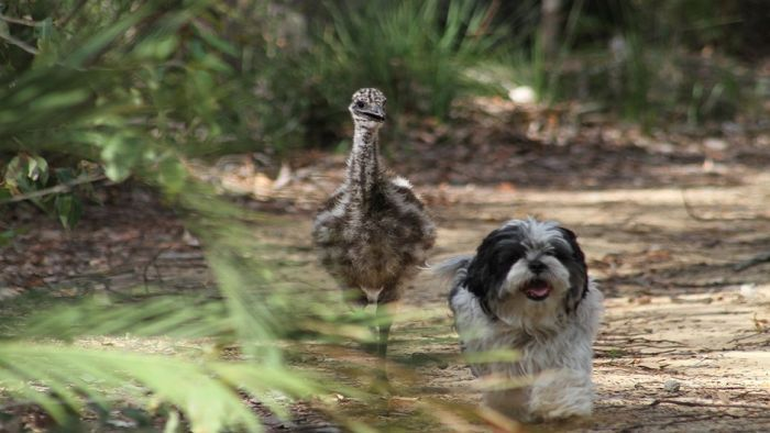 Two years after being found by the side of the road, Edward the emu has no intention of leaving Rocky the dog … just yet.