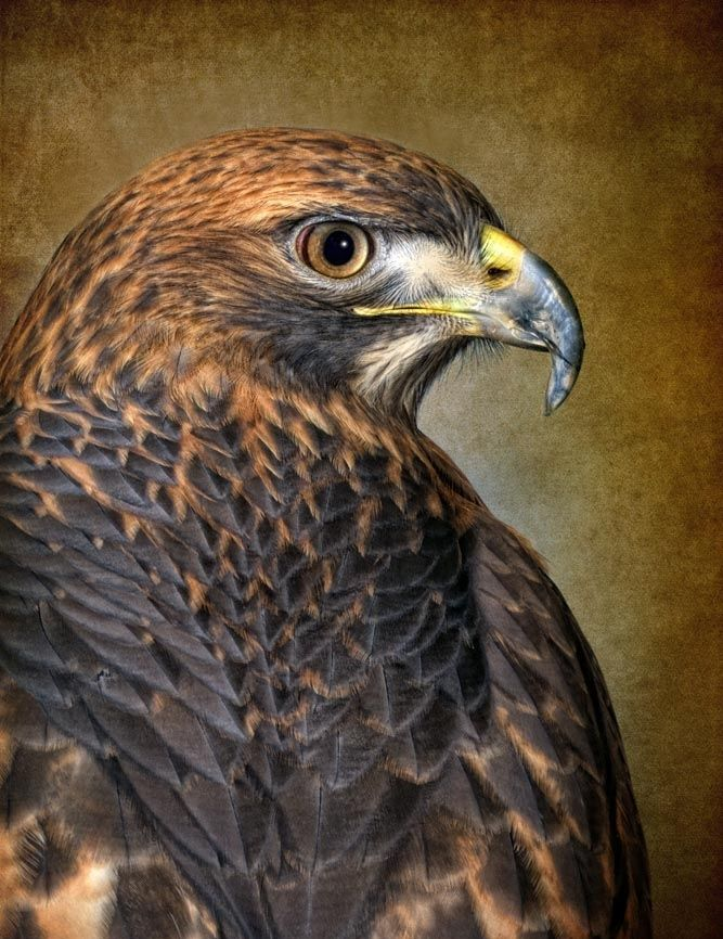 13 best hawks images on pinterest falcons hawks and red - Red tailed hawk wallpaper ...