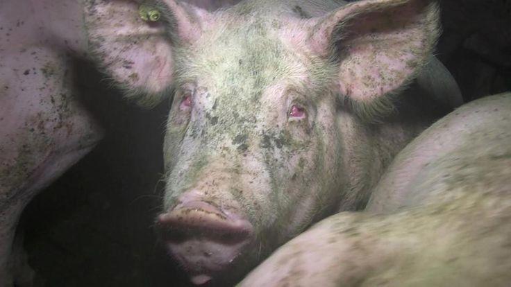 In Ställen von führenden Agrar-Funktionären ist es offenbar zu massiven Tierschutzverletzungen gekommen. Das zeigen heimlichen Aufnahmen von Tierschutz-Aktivisten, die NDR und SZ vorliegen.