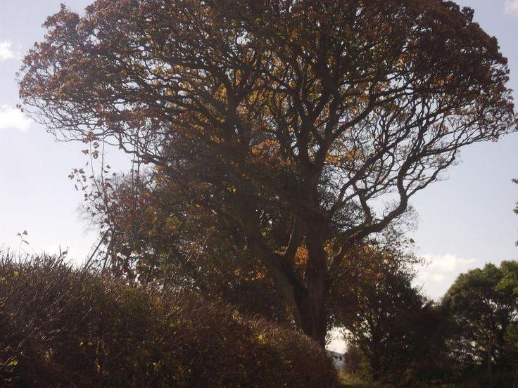 Autumn tree & hedge, Mutehill