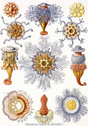 Microbiology book plate, by Dr. Ernst Haeckel (1834-1919), from Kunstform der Natur of Siphonophorae. Drawing. Germany, 20th century.