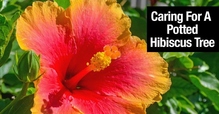 Learn How To Care For The Beautiful Hibiscus Tree! Great as a potted patio plant or out on the deck!