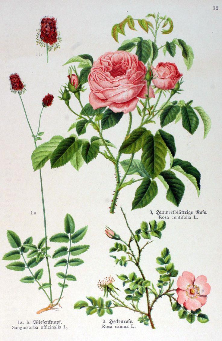 img/gravures anciennes de fleurs/gravure couleur ancienne de fleur - Sanguisorba officinalis; Rosa canina; Rosa centifolia.jpg