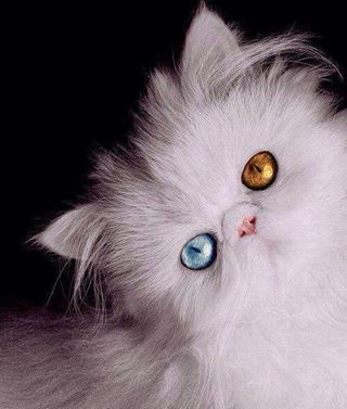 odd eyed white persian kitten