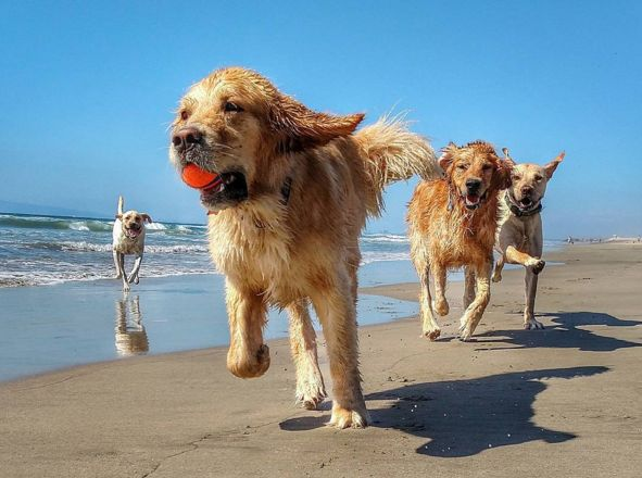 Having a golden time at Huntington Dog Beach! - Huntington Beach, CA - Angus Off-Leash #dogs #puppies #cutedogs #dogparks #huntingtonbeach #california #angusoffleash: