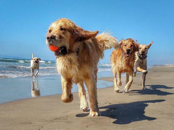 Having a golden time at Huntington Dog Beach! - Huntington Beach, CA - Angus Off-Leash #dogs #puppies #cutedogs #dogparks #huntingtonbeach #california #angusoffleash: