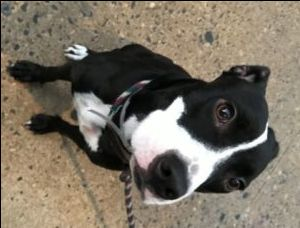 10/05/2016 SUPER URGENT ADOPT MA PETITE – A1090897 FEMALE, BLACK / WHITE, AM PIT BULL TER MIX, 10 mos STRAY – STRAY WAIT, NO HOLD Reason STRAY Intake condition EXAM REQ Intake Date 09/23/2016, From NY 10457, DueOut Date 09/26/2016,
