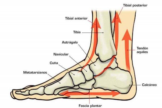 M La articulación del tobillo reparte las fuerzas y presiones verticales por la estructura del pie.