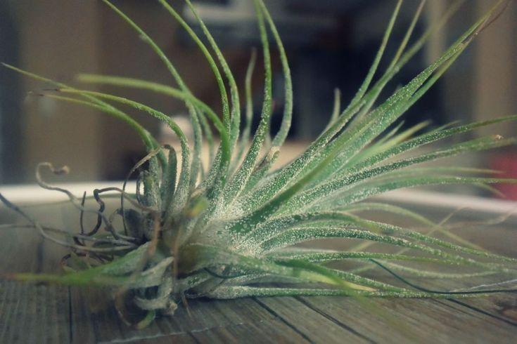 Pregunta ¿Cómo cuidar el clavel del aire? Respuesta La tillandsia aérea, también conocida como clavel del aire, es una especie epífitaque, al igual que la orquídea,se desarrolla sobre otras plantas, en la mayoría de los casos sobre árboles. Pese a usar de sustento otra planta, el clavel del aire ...