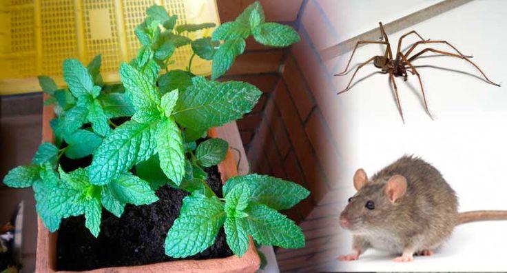 ¡¡Ay!! ¡¡Un ratón!! o araña!! Es mayor el susto que nos provocan con su aparición imprevista que el daño que suelen hacernos (hablamos, eso sí, generalizando). Lo peor no es que hayamos visto un roedor y araña en nuestra casa, sino que dicen que, por cada uno que vemos, son veinte los que se esconden…
