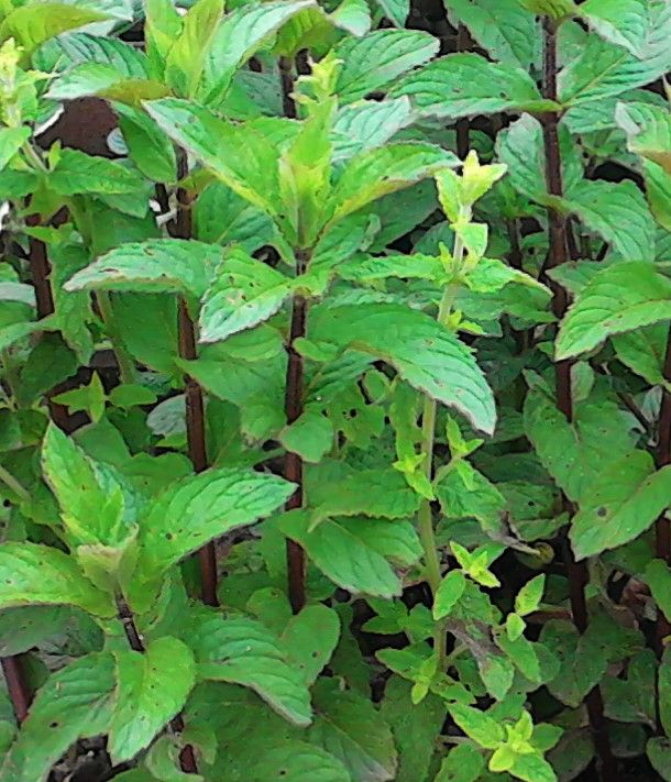 La ventana de javiruli arom ticas 2 hierbabuena menta - Plantas aromaticas interior ...