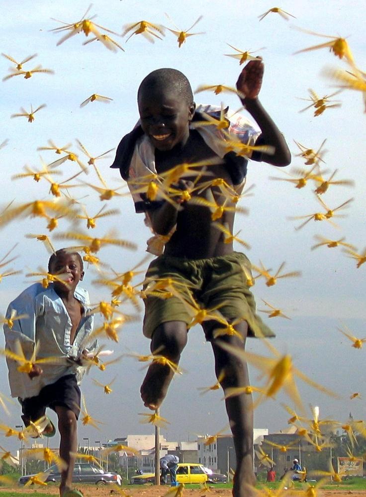Africa - (West Africa) Senegalese locusts