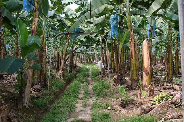 Banana Farm in Puerto Limon, Costa Rica.  Bananas are kept under the bags til time to harvest.