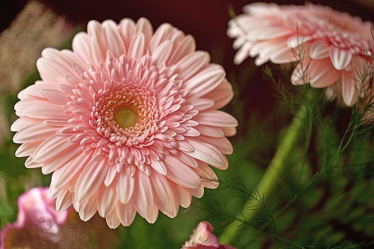 Buon pomeriggio da Garden Zanet!  #settembre #gerbera #rosa #reciso #fiori #lunedì
