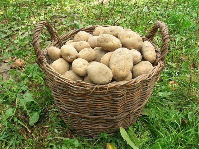 die besten 25 kartoffelanbau ideen auf pinterest kartoffelpflanzen gr ne kartoffeln und. Black Bedroom Furniture Sets. Home Design Ideas