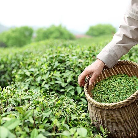 Tea Plant | Camellia sinensis | can be a 10ft bush but keep pruned to 4ft. cold hardy but full sun. can take a few years to be established enough to be able to harvest tea.