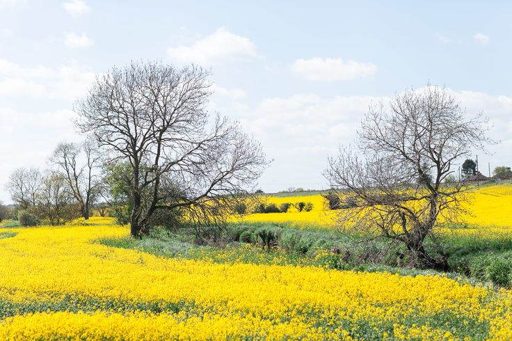 Yellow Field Ireland