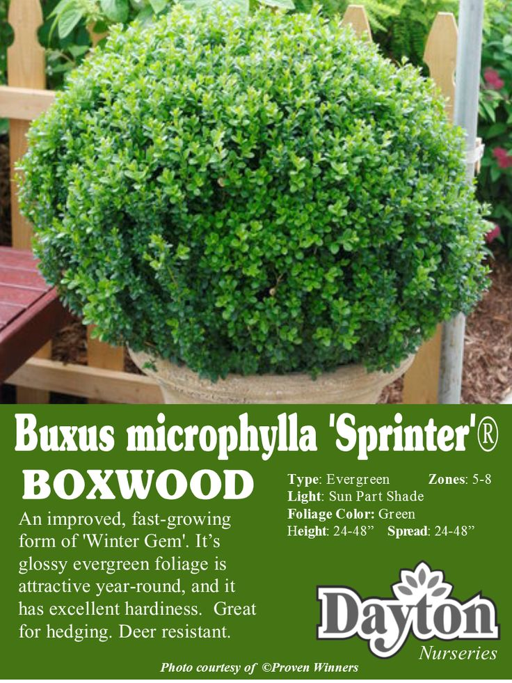Buxus microphylla 'Sprinter'® - Boxwood - An improved, fast-growing form of 'Winter Gem'. Its glossy evergreen foliage is attractive year-round, and it has excellent hardiness.  Great for hedging. Deer resistant. #provenwinners