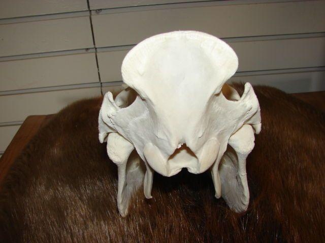 Texas Hog Hunting