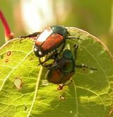 Info about these bugs and some help on how to control them.....they love my roses...grr!                               Adult Japanese Beetles