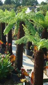 Large Tree Ferns, Dicksonia Antartica, Paramount Plants and Gardens - Buy Tasmanian Tree Ferns online.
