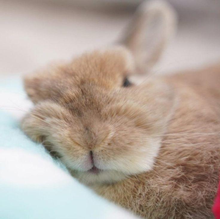 Sleepy Bunny Cute Animals Pet Rabbit Care Cute Bunny Baby Animals Pictures