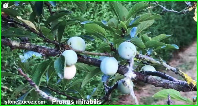 خوخ بديع او برقوق بديع Prunus Mirabilis قسم الفواكه النبات معلومات نباتية وسمكية معلوماتية Food Eggs