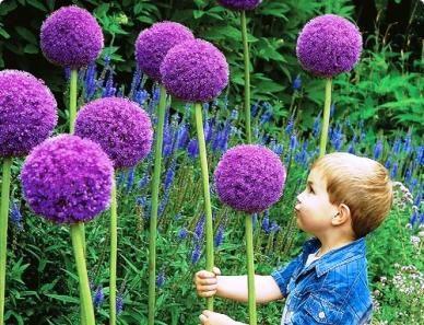 L'ail ornemental géant est toujours une attraction dans un jardin quand il est en fleur.