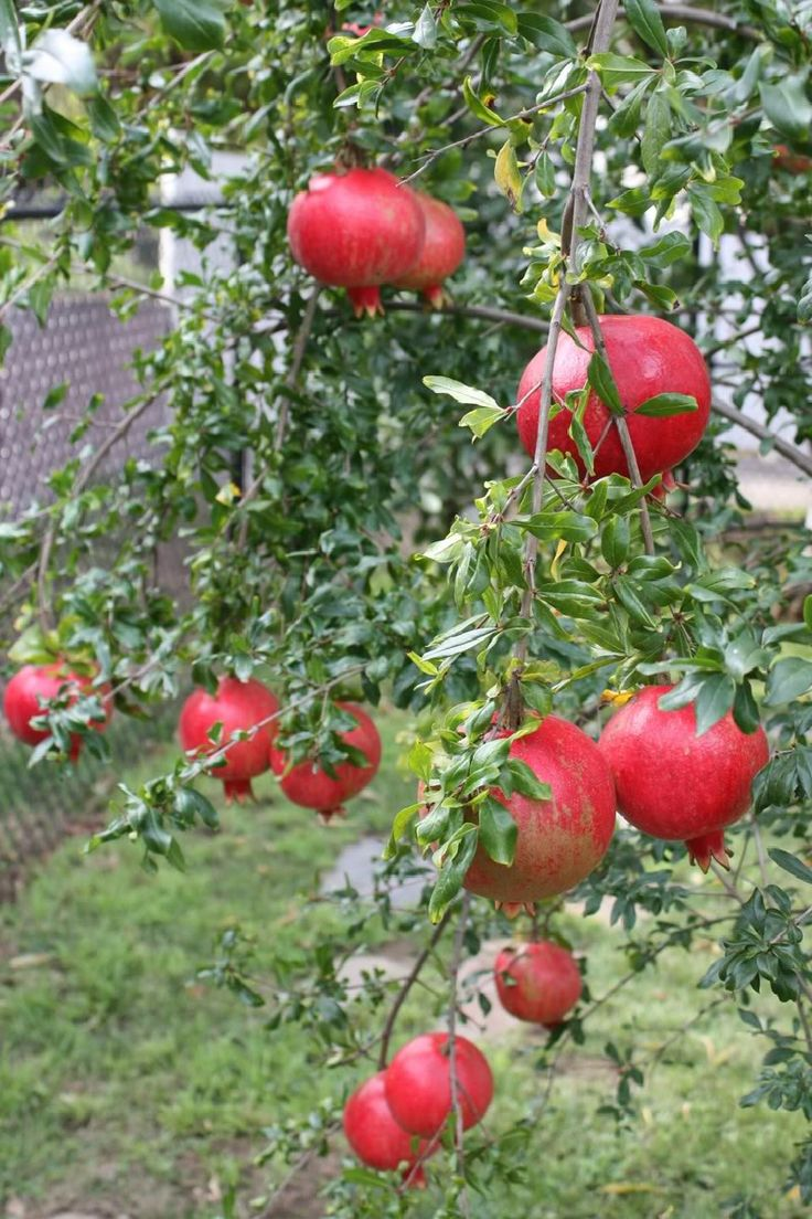 Tropical Fruit Names   Live Pomegranate Tropical Fruit Tree Seedling Punica Granatum Granada ...